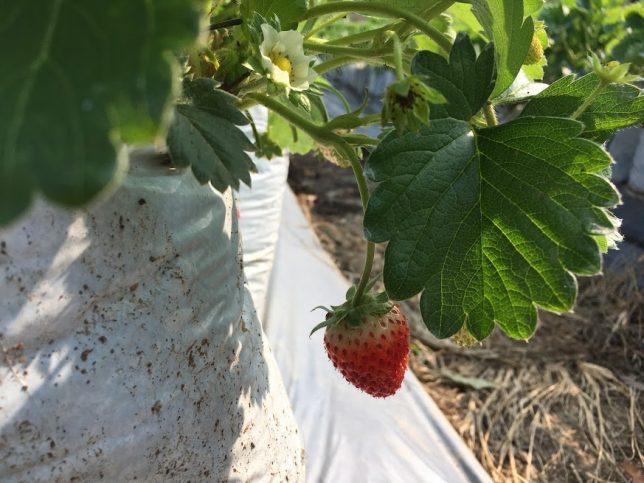 strawberry9